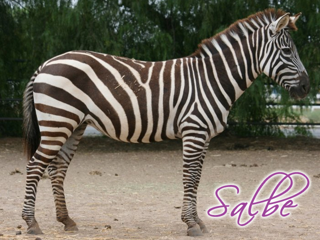 SALBE will always live here at Zebras R Us. Salbe had a very hard life before she was rescued by husband Dalton. He saw an ad for real live zebra hunting, this turned his stomach. He did some research and found out this beautiful zebra Salbe was on the hunt list! He was outraged and called and bought her. He couldn't imagine this beautiful animal being killed!! We went to get her immediately. She sadly had a slipped disk in her spine and a fractured face. After many months of rehab. She now frolics and lopes around our pasture and calls to us when we give her grain. She has been given the green light to be bred for a 2013 foal. We are very excited to let her be happy and live out her life here as a momma. Salbe will always hold a special place in our hearts.