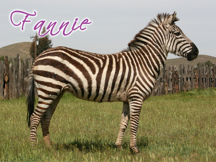 FRANIE Miss Franie is a very nice zebra mare. She is very large and has nice movement. She loves horses and all young babies. We were so pleased with her 2014 foal. She really was a great first time mom. With her being gentle its so easy to play with her foals. Stress free and uncomplicated great mare to own.
