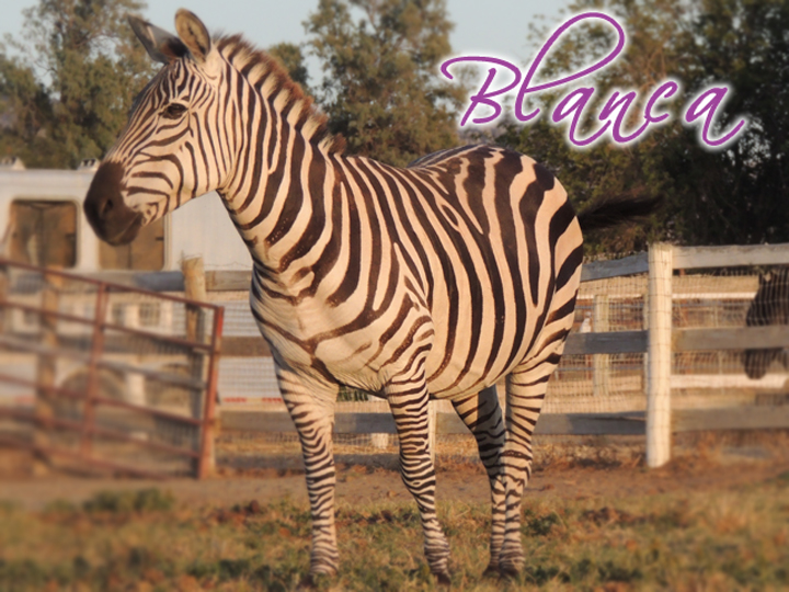 "BLANCA She is known as our ""white"" zebra. Yes white looking at her in person you can tell she is white. She is a kind old soul people have been so mean to her. Looking into her eyes she is just a kind sweet girl. We have had her in our rehabilitation program and she is coming along. The best moment was when she got the courage to take a carrot from our hand. It was so amazing that she let her guard down and wants to connect. She is a wonderful girl. And a loving mother."