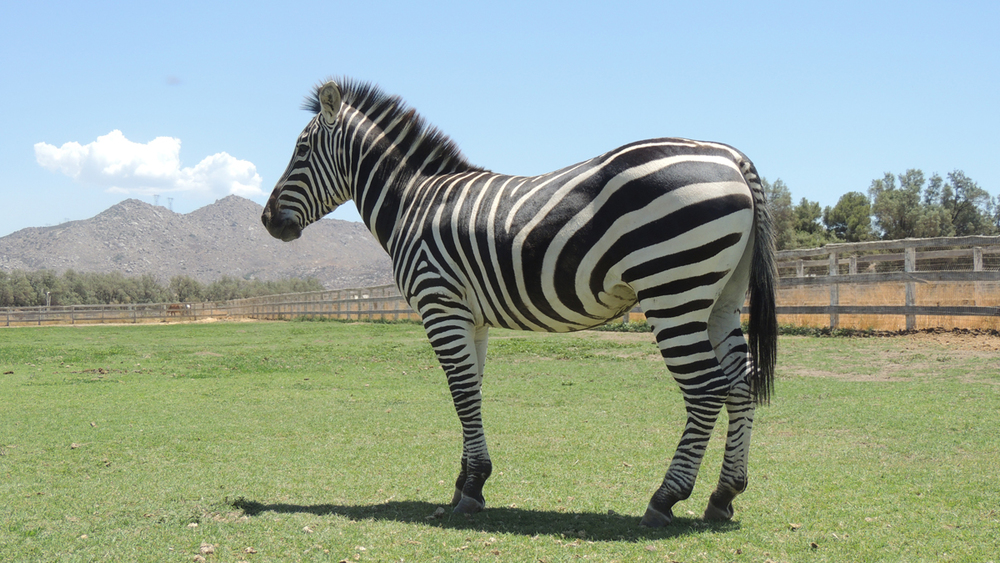 july 2014 zebras 1174web.jpg