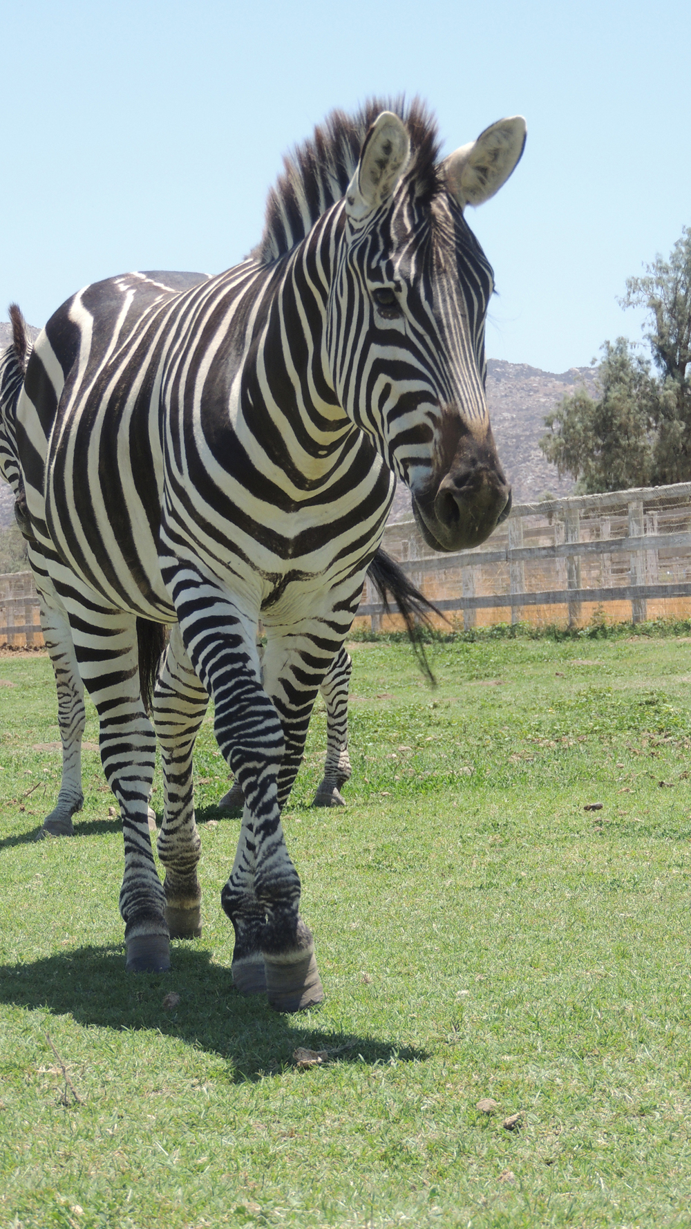 july 2014 zebras 1184web.jpg