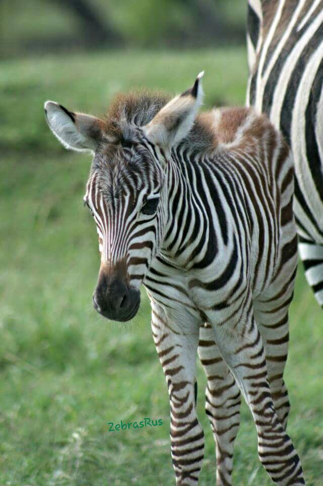 Zebra stud colt for sale will put on the bottle in five days from gentle stock in North Central NE $ Also have a mother raised female that is 6 months old very calm $ And a six month old stud colt bottle raised weaned used in petting zoos $ leave a message thanks.