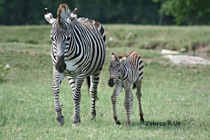 Zebrasrus is one of the largest Zebras for Sale platform with different varieties of healthy zebra. We also offer camels, horses & other animals for sale.