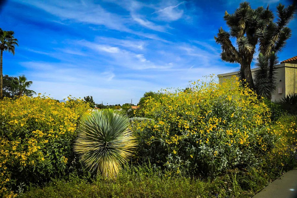 Sonoran Desert in bloom
