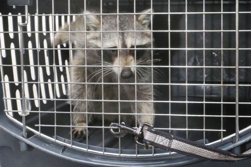 raccoon-apt-feature.jpg