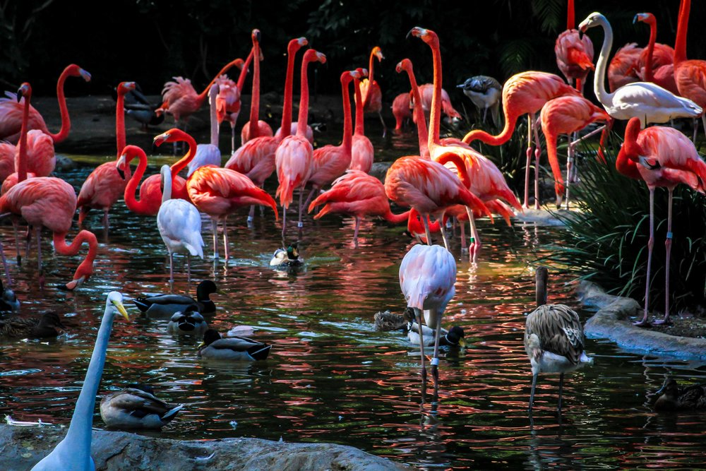 FLAMINGOS (San Diego Zoo)