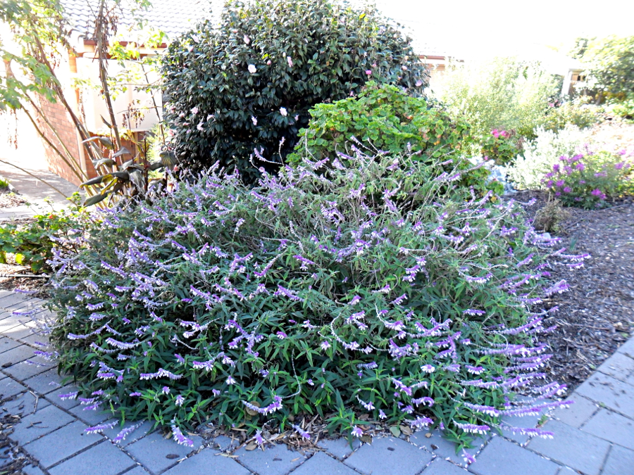 purple bush.JPG