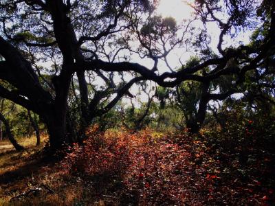 Los Osos Oaks
