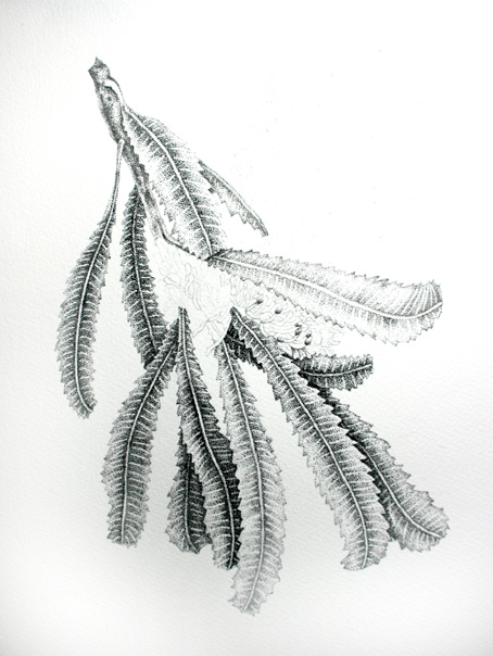 banksia-serrata-drawing-unfinishedweb.jpg