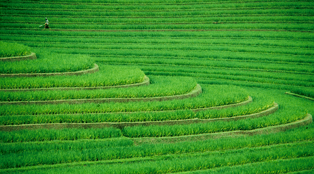 ricefield sharp.jpg