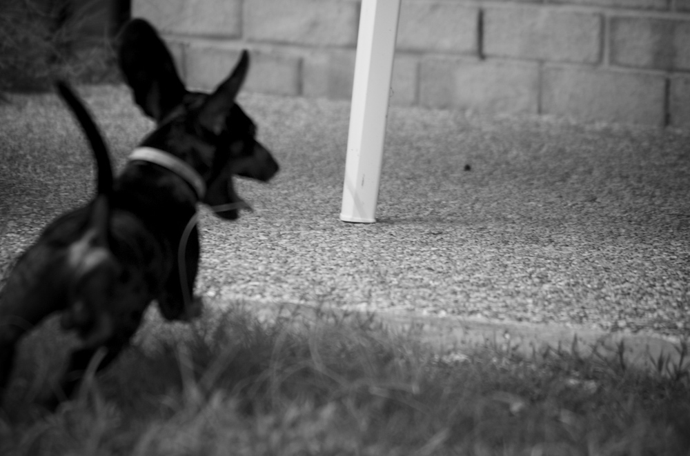 Harry the mini dachshund racing around the yard with excitement.  Our friend had brought his dog around to play.