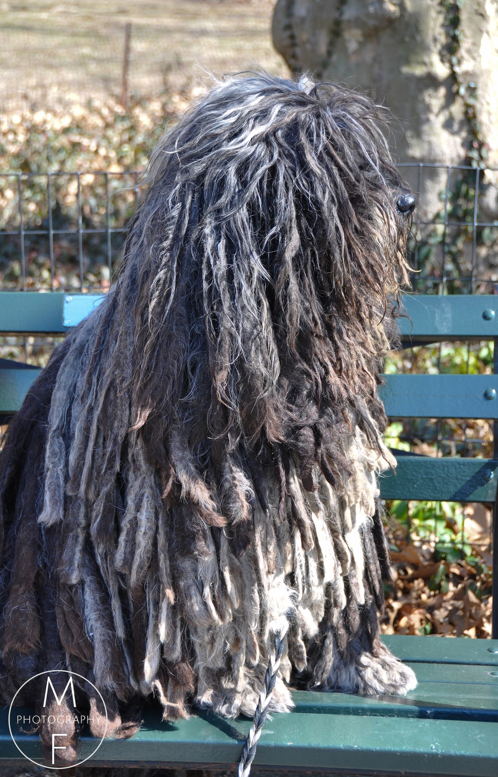 Actually A Spectacular Puli ( Hungarian Water Dog)