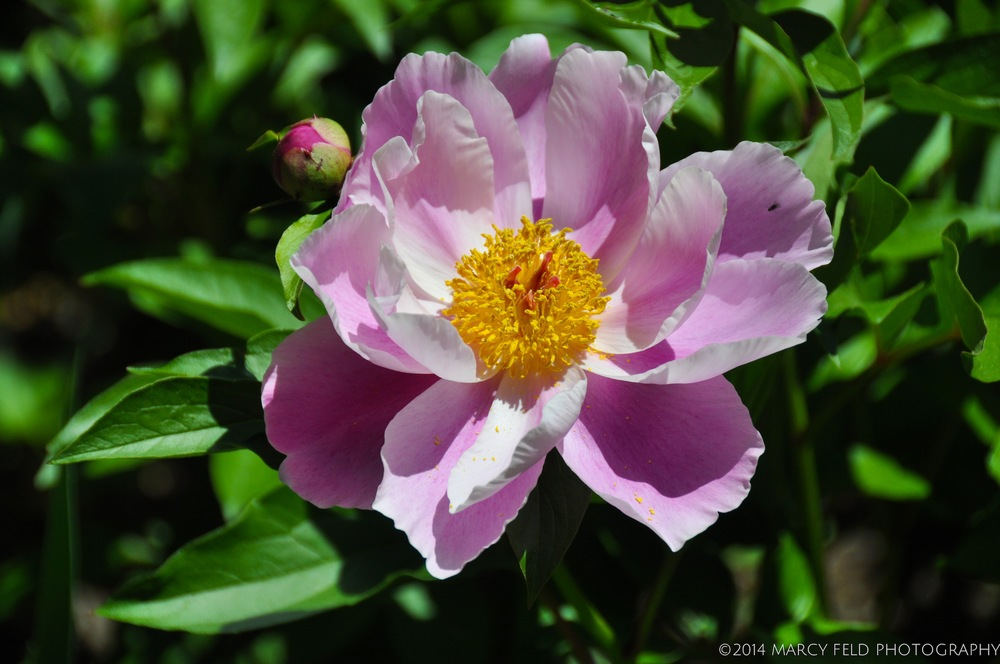 Pink & White Single Cup Peony