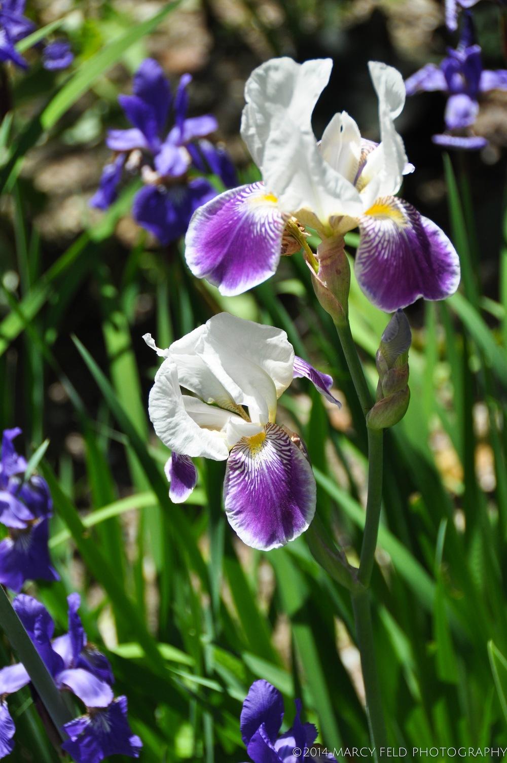 Little White Tiger Iris
