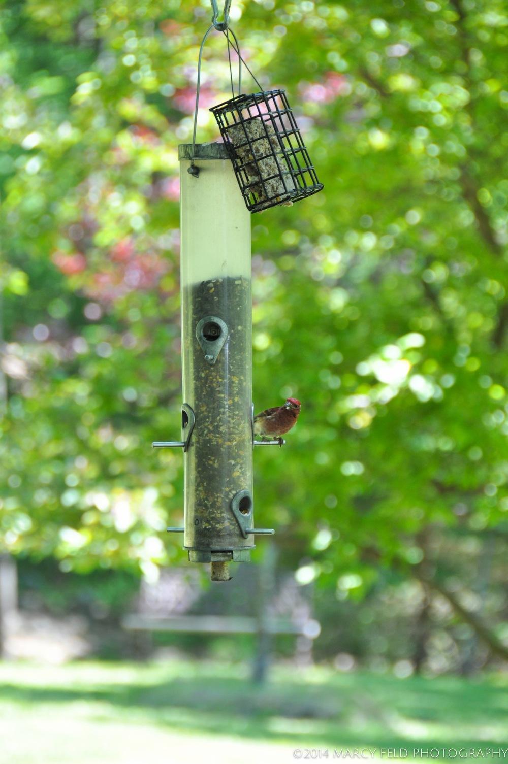 Purple Finch on Bird Feeder