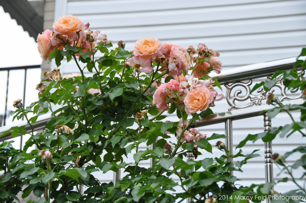 More Of The Roses Surrounding The Home