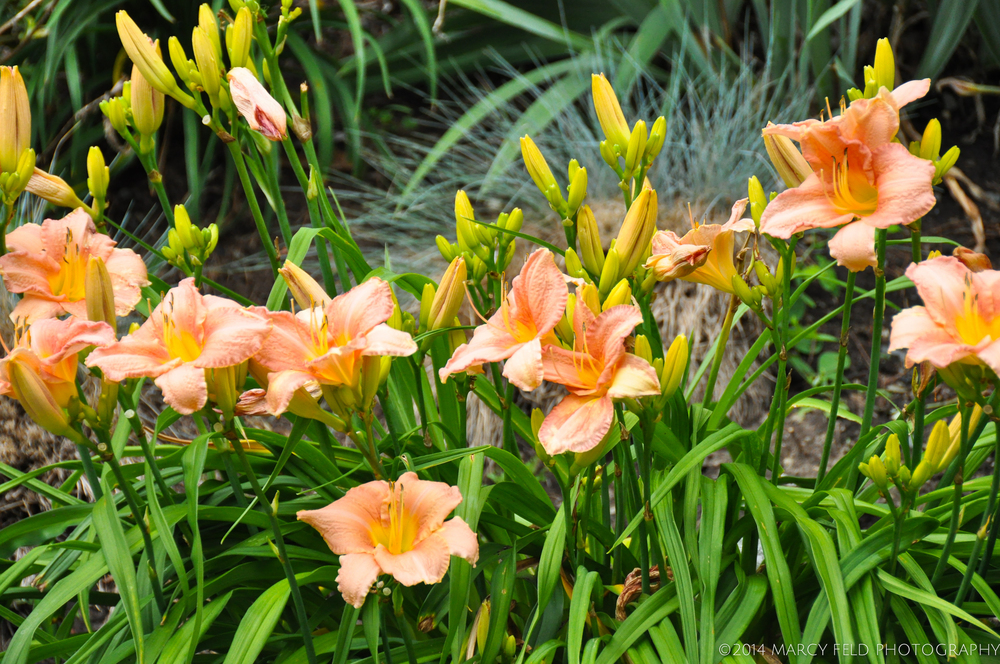 Pale Peach Day Lilies with bright yellow centers