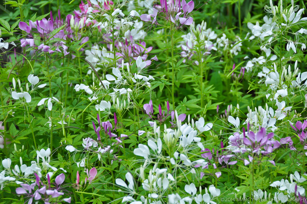 More Cleome Hassleriana in both pink and white
