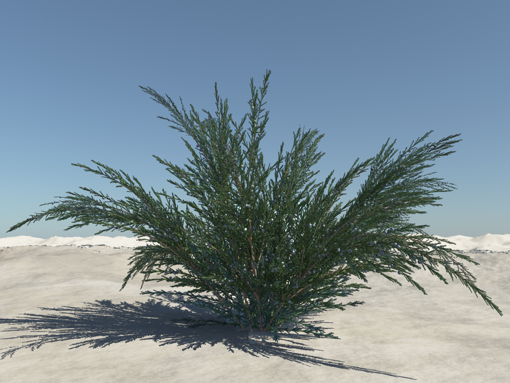 Juniperus chinensis 'Sea Green'