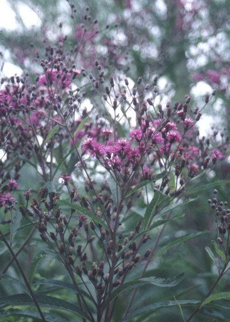 Jonesboro Giant Ironweed