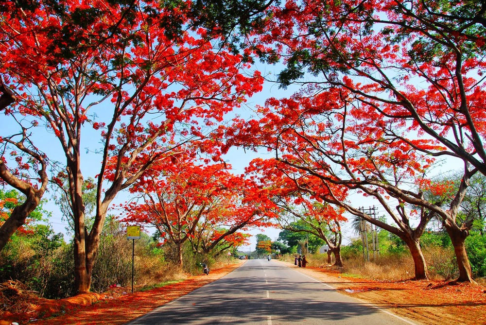 Delonix regia on the Doddabellapur route in Doddaballapu, India.
