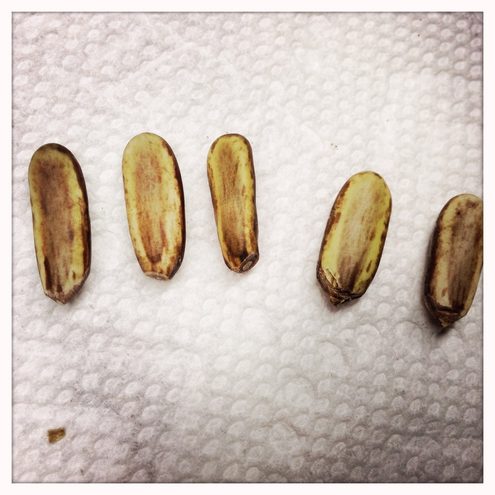 From left to right, the first three seeds were scarified using sand paper.