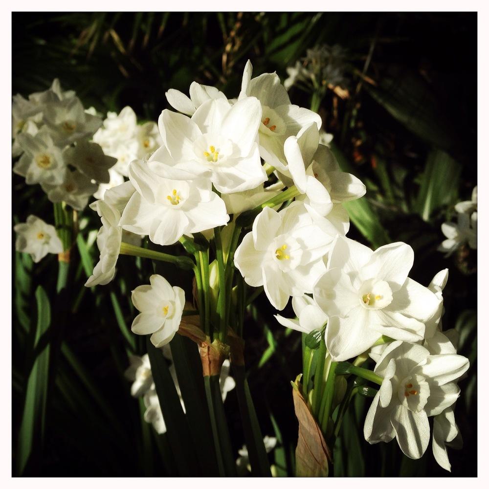 Narcissus papyraceus 'Ziva'at Reiman Gardens conservatory.