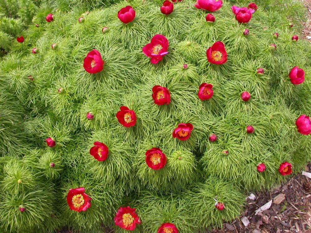 Paeonia tenuifolia