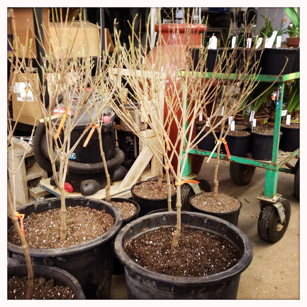 Potted bare-root Chinese dogwoods for the Spring festival.