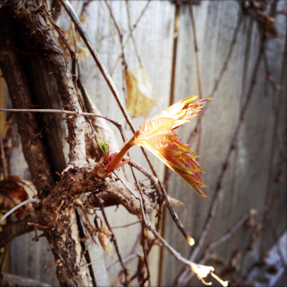 Boston ivy leaves, emerging