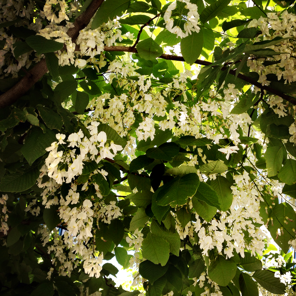 Aromatic blooms of Cladrastis kentukea (Yellowwood) stopped me on my tracks as I was walking down Boren Avenue. What a gorgeous tree!