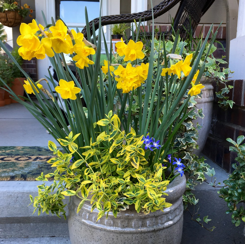 "Working spring bulbs into the bottom of your containers will give you the same spring thrills as in a ""terrestrial"" garden."