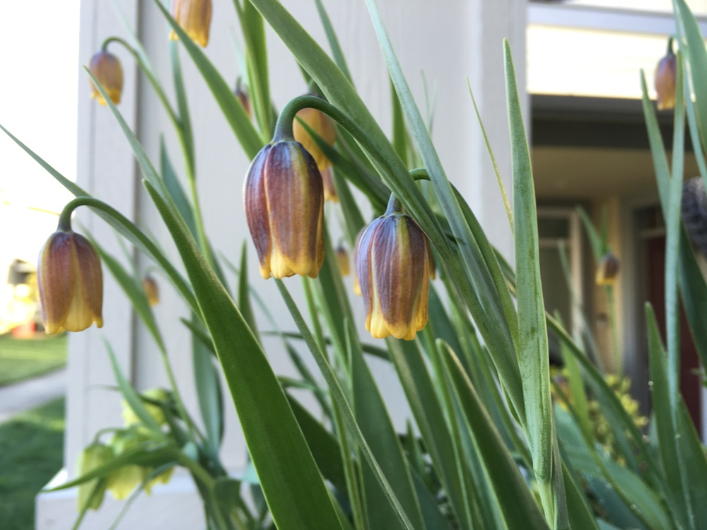 Fritillaria's bobbing heads are a springtime must-have.