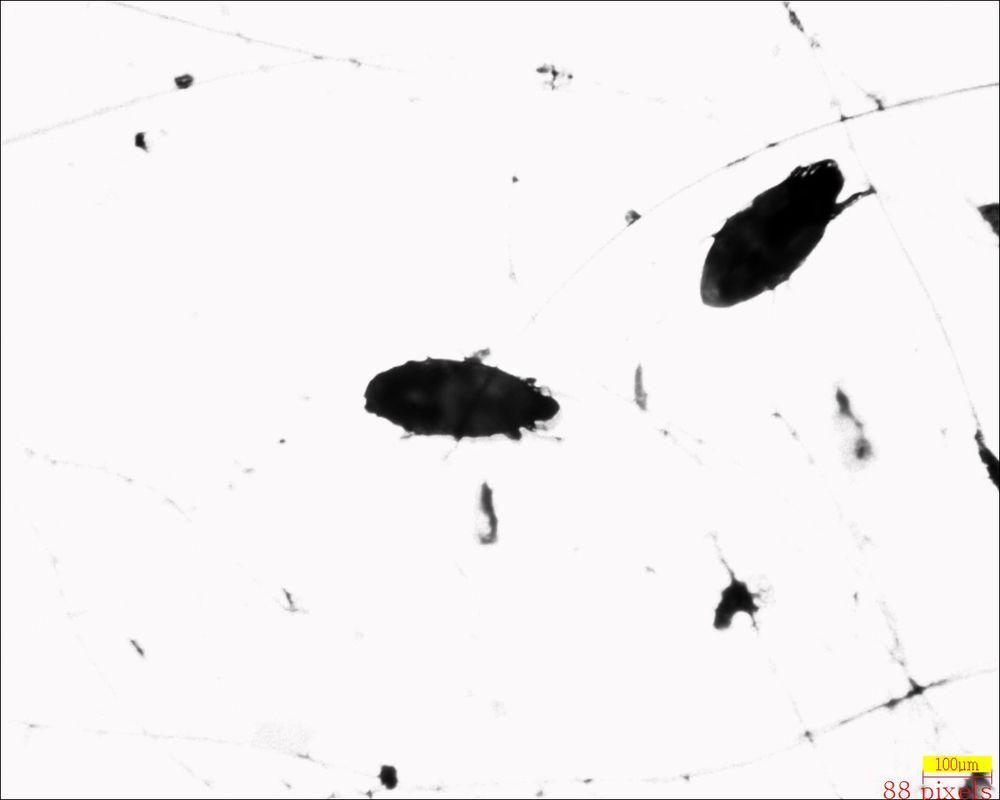 Leporacarus gibbus