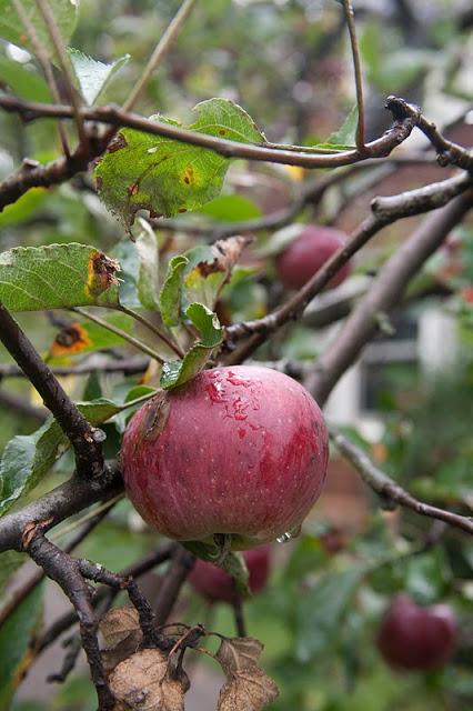 Apples+on+tree-17.jpg
