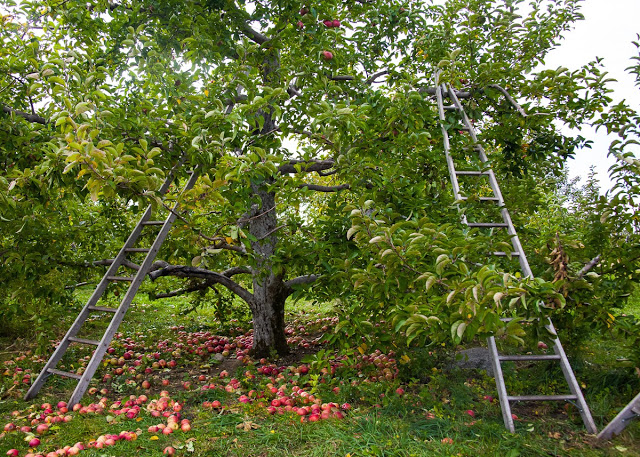 Apple+orchard+Stowe.jpg