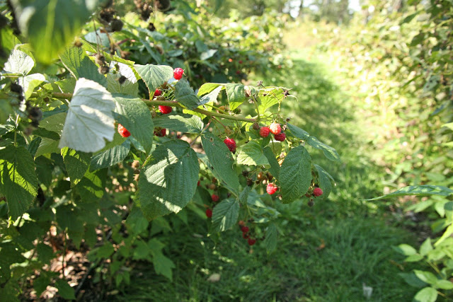 Raspberry+Row.jpg