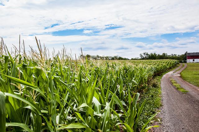 Corn+field+1.jpg