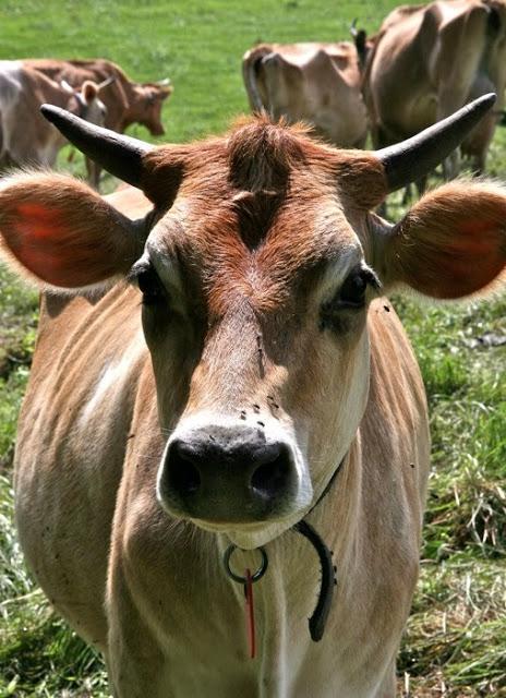 Cow+portrait.jpg