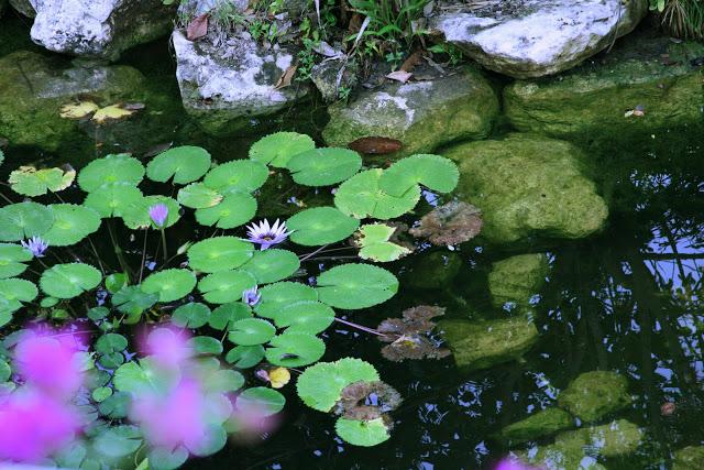 Grand+Velas+Water+lilies.jpg