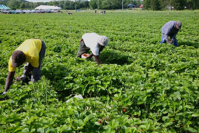 strawberry+pickers.jpg