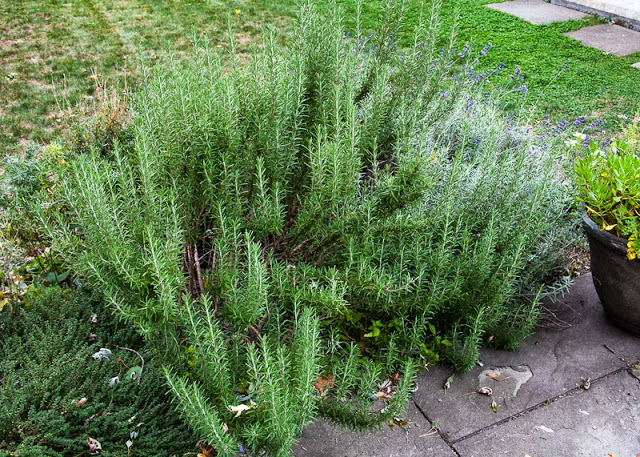 Rosemary+plant+in+October.jpg