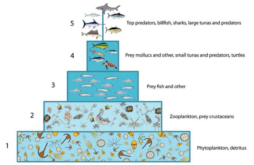 The warm pool ecosystem model is characterised by a large number of trophic links between   groups and a diverse pool of prey on which a wide diversity of predators is feeding.