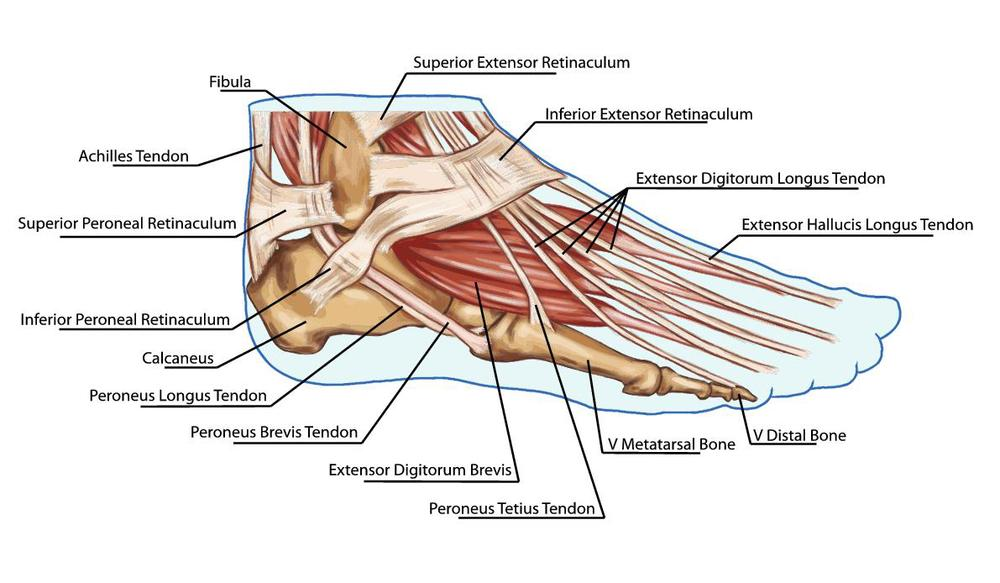 Lateral-Foot-Ankle-Tendons