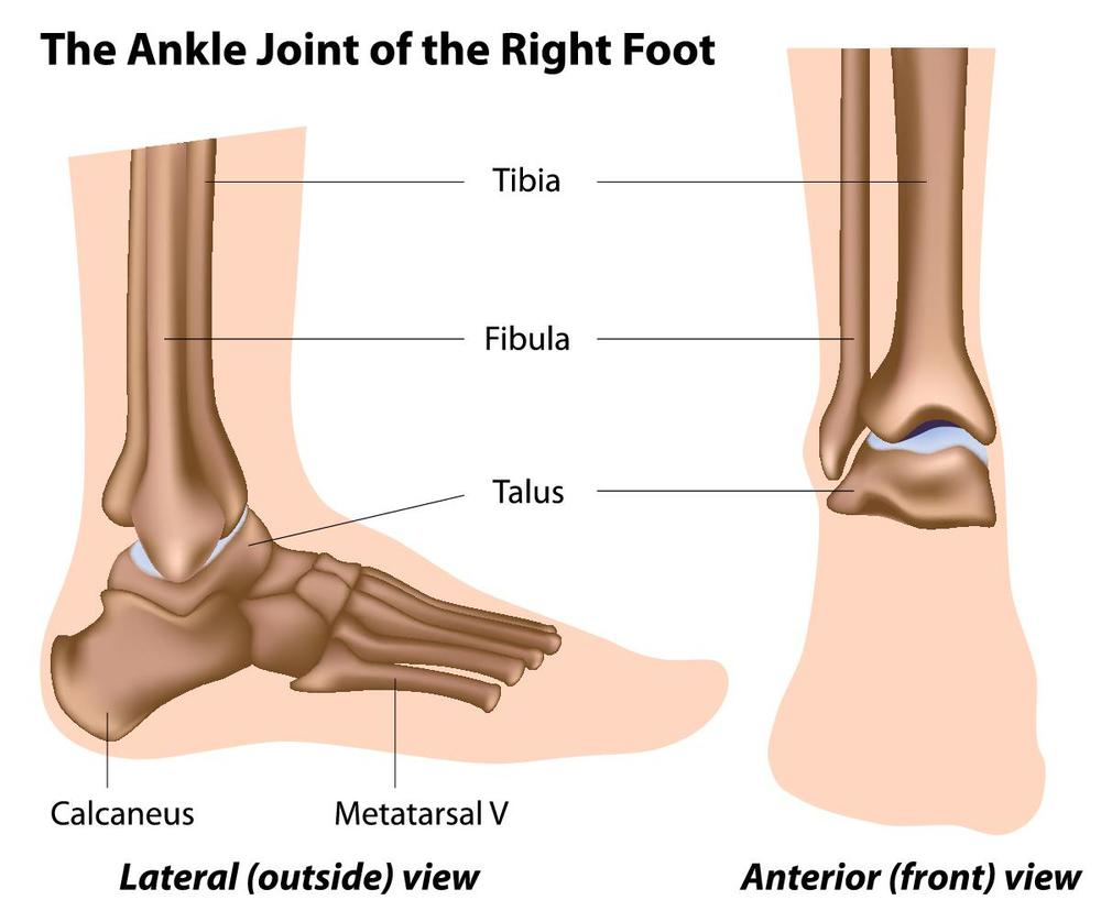 Ankle Joint Anatomy