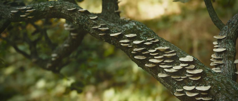 mantissa-osa-mushroom-tree