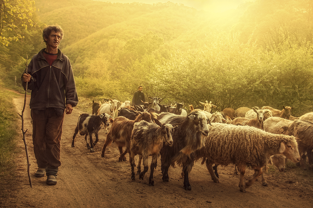 shepherd2.jpg