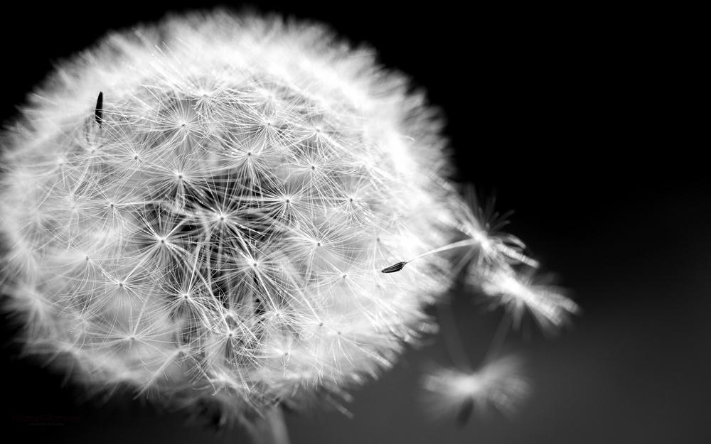 Macro-Dandelion.jpg