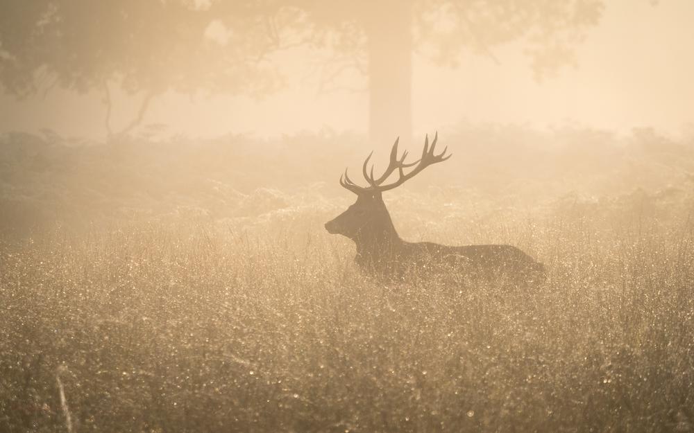 golden-stag.jpg