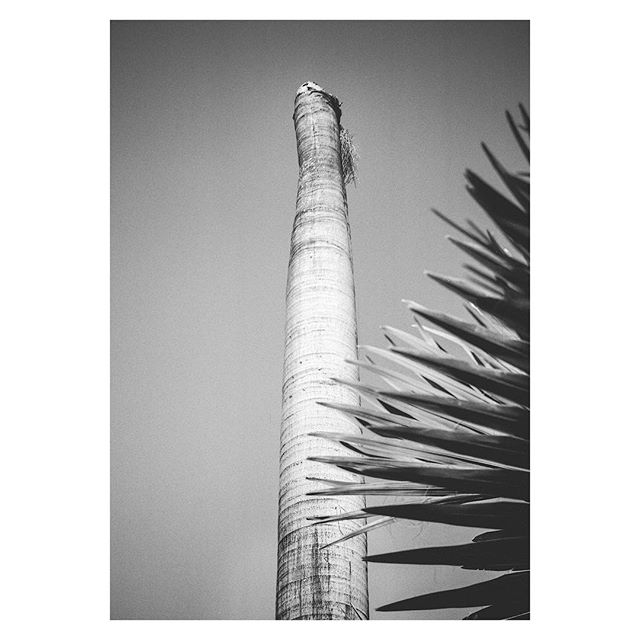 #Tropical vernacular botany. #Miami, #Florida, near the #boat docks/moorings. A #blackandwhite #mediumformat #film scan of a Royal #palm and it's view of the #sea. No one is an #island; the #ocean connects you to me. . .  All #Landscape is a mediation, a fabrication- a built environment like architecture or urban planning. It is naturalistic, but not entirely #nature. We form it, and as such, its form reveal the desires, attitudes and philosophies of the people and  #culture that #design and consume it. [Disruptions in #Paradise, an ongoing #art project, a #citizen #scientist cataloging #dead #palmtrees using the format of  #vacation and #travel #photography and clickbait  #wanderlust #poetry. Paying attention to things we are programmed not to see, like #death and #life, how they are simultaneously forming]
